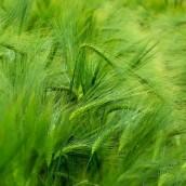 Młody zielony jęczmień i jego właściwości